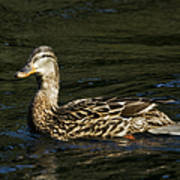 Female Mallard And Duckling Poster