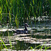 Female Mallard Duck Swimming Poster