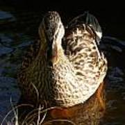 Female Mallard In Pond Poster