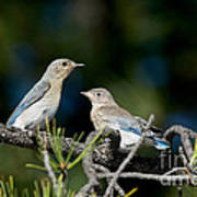 Female Mountain Bluebird With Fledgling Poster