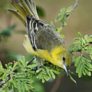 Female Orchard Oriole Poster