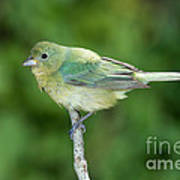Female Painted Bunting Passerina Ciris Poster