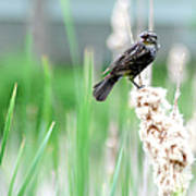 Female Red Winged Black Bird Poster