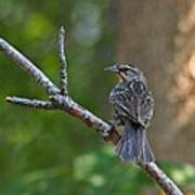 Female Red Winged Blackbird Poster