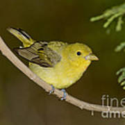 Female Scarlet Tanager Poster