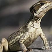 Female Striped Lizard Poster