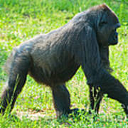 Female Western Lowland Gorilla Poster