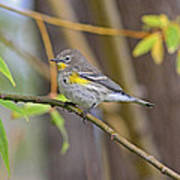 Female Yellow-rumped Warbler Poster