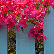 Fence With Bouganvillia Poster