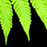 Fern Isolated On Black Background Poster
