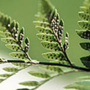 Fern Seeds Poster