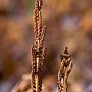 Fern Spore Stalk In Morning Sun Poster