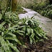 Ferns (asplenium Scolopendrium) Poster