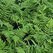 D3b6327-ferns In Sonoma Poster
