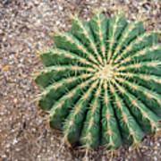 Ferocactus Histrix Cactus Poster