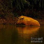 Ferrell Hog At Sunrise Poster