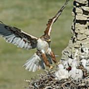 Ferruginous Hawk And Chicks Poster