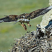 Ferruginous Hawk Bringing Food To Young Poster