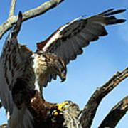 Ferruginous Hawk Poster