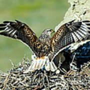 Ferruginous Hawk Male At Nest Poster