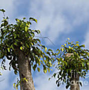 Ficus Leaves Against The Sky Poster