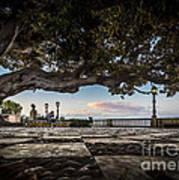 Ficus Magnonioide In The Alameda De Apodaca Cadiz Spain Poster