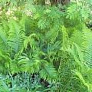Fiddlehead Ferns Poster