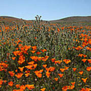 Fiddlenecks And Poppies Poster