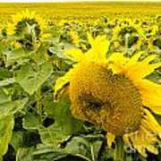 Field Of Blooming Yellow Sunflowers To Horizon Poster