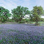 Field Of Bluebonnet Flowers, Texas, Usa Poster