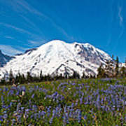 Field Of Lupines And Rainier Poster