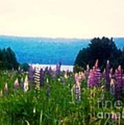 Field Of Lupines Poster