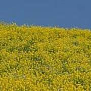 Field Of Mustard Poster