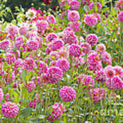 Field Of Pink Dahlias Poster