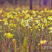Field Of Pitcher Plants Poster