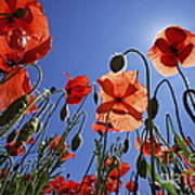 Field Of Poppies At Spring Poster