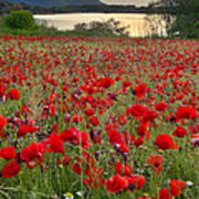 Field Of Poppies At The Lake Poster