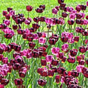 Field Of Purple Tulips 1 Poster