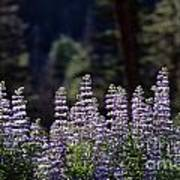 Field Of Summer Wildflowers Backlit Lupine  Poster