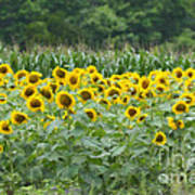 Field Of Sunflowers Poster