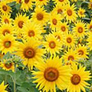 Field Of Sunflowers Helianthus Sp Poster