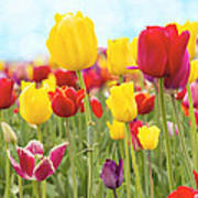 Field Of Tulip Flowers Against Blue Sky Poster