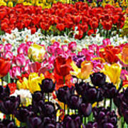 Field Of Tulips Ll Poster
