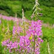 Fields Of Fireweed Poster