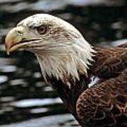Fierce Bald Eagle Poster