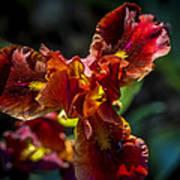Fiery Iris Poster