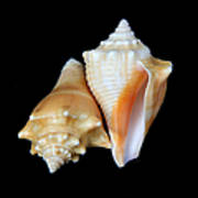 Fighting Conch Seashells Poster