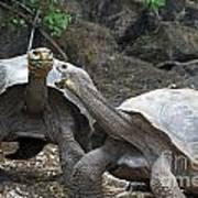 Fighting Galapagos Giant Tortoises Poster