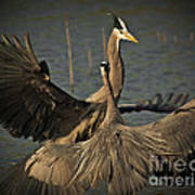 Fighting Great Blue Herons Poster
