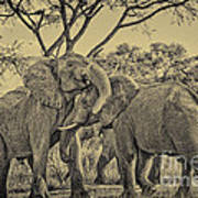 fighting male African elephants Poster